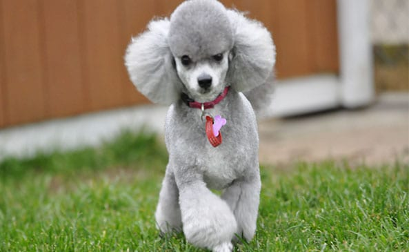 Miniature Poodle at Waglands
