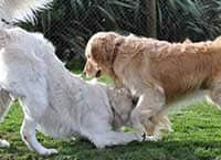 Stay happy - Golden Retrievers playing at Waglands