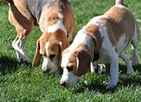 Stay Safe - Beagles Sniffing at Waglands