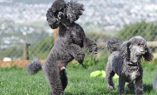 Two Miniature poodles dogs playing at Waglands